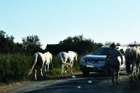 Przepisy stanowią jednoznacznie, iż zarówno jadący wierzchem, jak i pędzący zwierzę jest kierującym