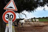 """Do dnia dzisiejszego w krainie Camargue żyją dzikie stada tych """"siwych koni morskich"""""""