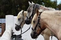 Konie nadal pracują. Te czekają na jeźdźców zakochanych w galopowaniu polami i brzegiem morza