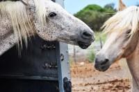 Piękne konie rasy camargue